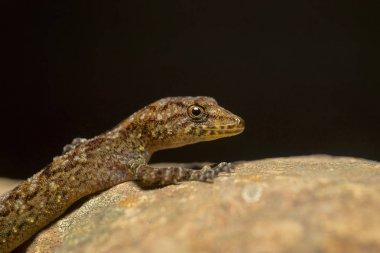 Giri's Day Gecko, Cnemaspis girii, Kaas, Maharashtra, India.