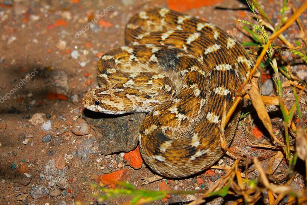 Schocker's Saw Scaled Viper, Echis carinatus sochureki, Jaisalmer, Rajasthan, India