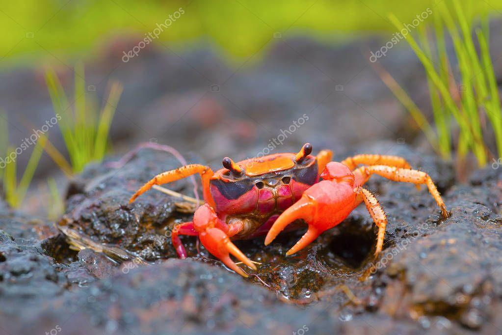 Gubernatoriana thackerayi a new species of freshwater crabs Satara, Maharashtra, India
