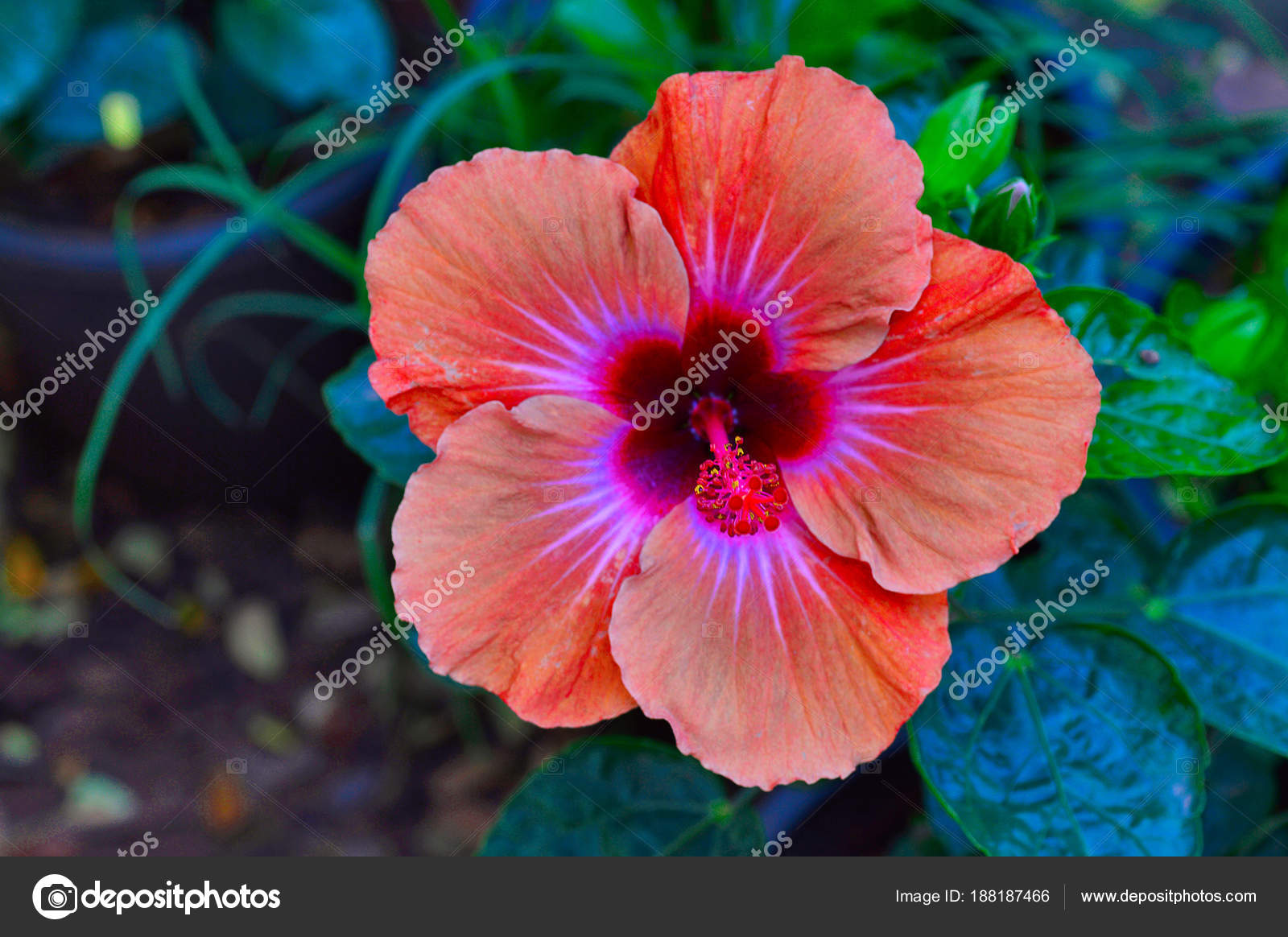 Orange hibiscus flower pune stock photo realityimages 188187466 close up of orange hibiscus flower at pune photo by realityimages izmirmasajfo