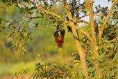 Indische Flughund Pteropus Giganteus kopfüber an einem Baum in der Nähe von Sangli, Maharashtra