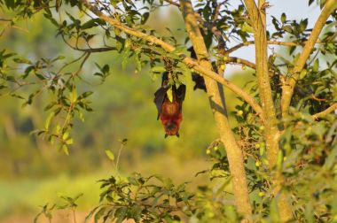Indian Flying Fox, Pteropus giganteus hanging upside down from a tree near Sangli, Maharashtra