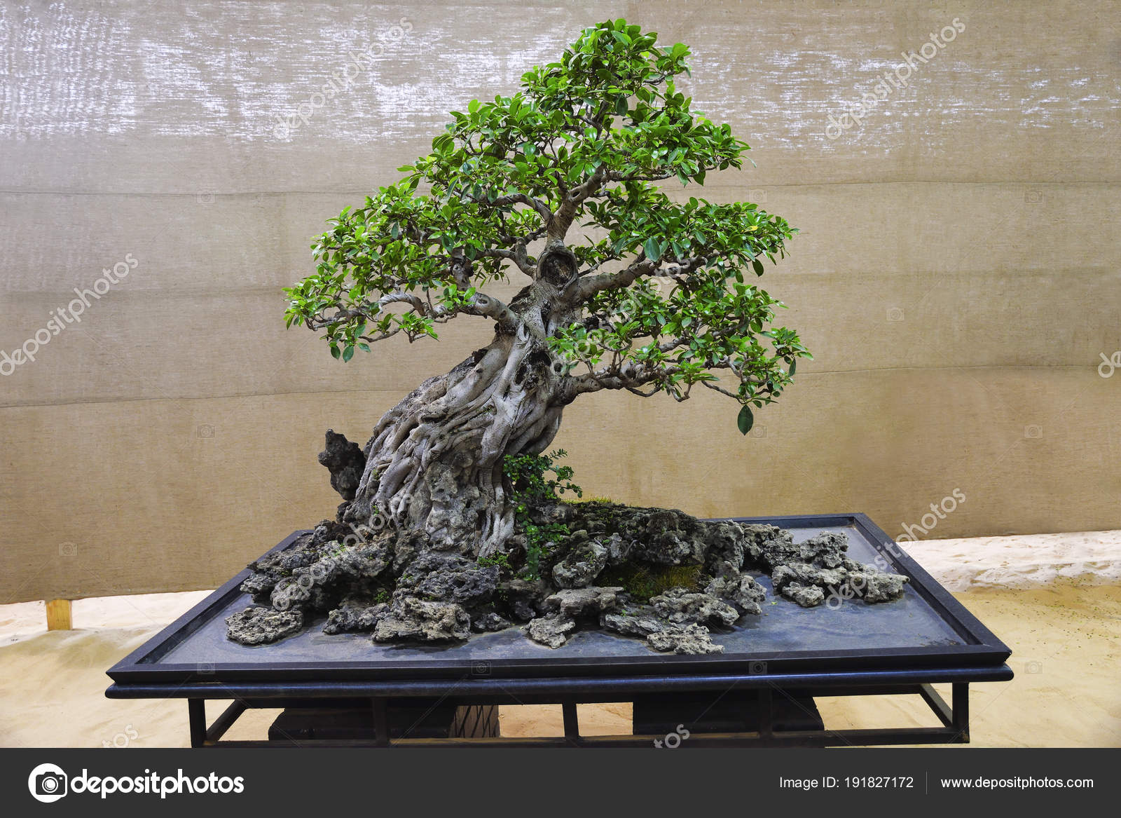 Ficus Retusa Tree Bonsai Exhibition Pune Shivajinagar Pune Maharashtra Stock Photo C Realityimages 191827172
