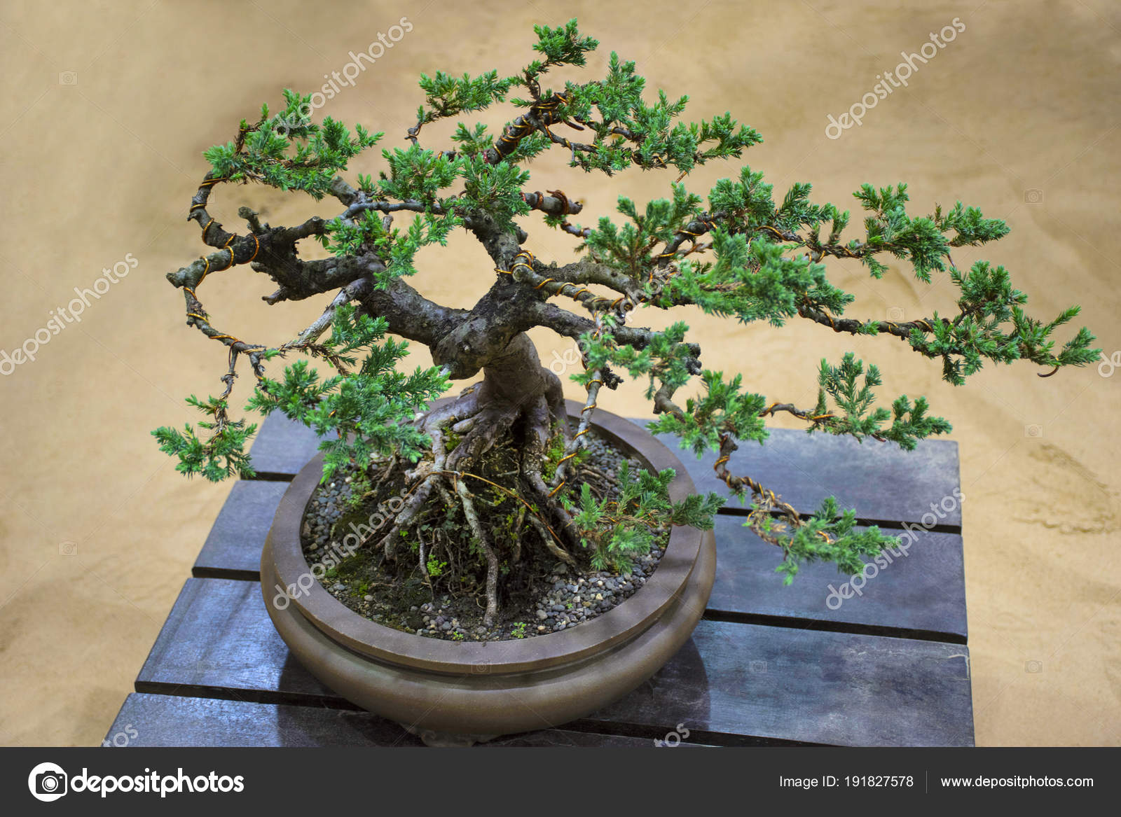 Juniper Procumbens Nana Tree Bonsai Exhibition Pune Shivajinagar Pune Maharashtra Stock Photo C Realityimages 191827578
