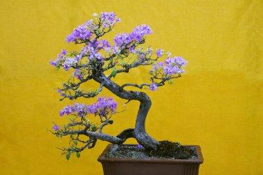 Mix-color Bougainvillea Spectabilis tree, Bonsai Exhibition Pune Shivajinagar, Pune, Maharashtra