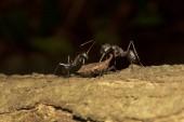 Ant a rostlin násypky, Aarey mléka kolonie Bombaj