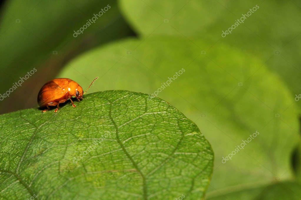 Beetle, Aarey milk colony of Mumbai , India