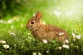 divoký králíček na louce
