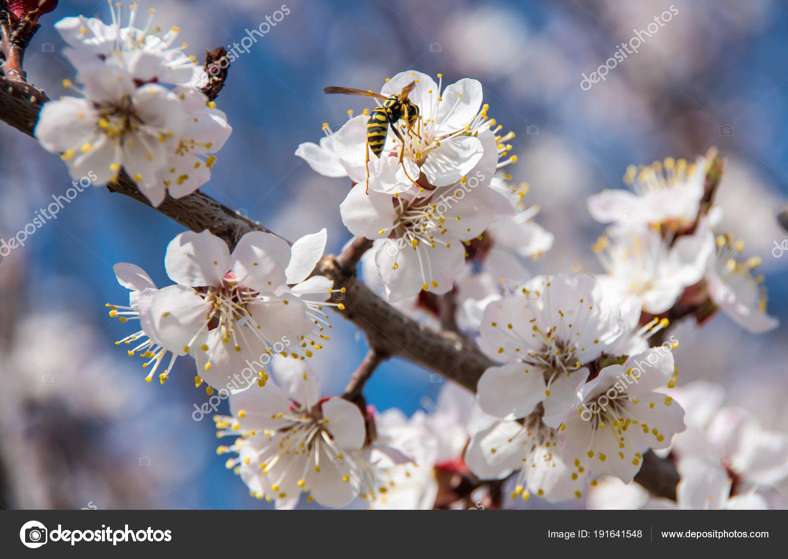 Flowering Trees Spring Background Sky Greenery Bees Pollinate Them
