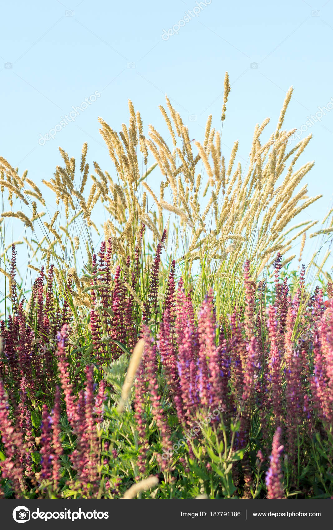 Heliotrope Ridge Fleurs Sauvages Au Cours Du Mois D Aout Sur Les