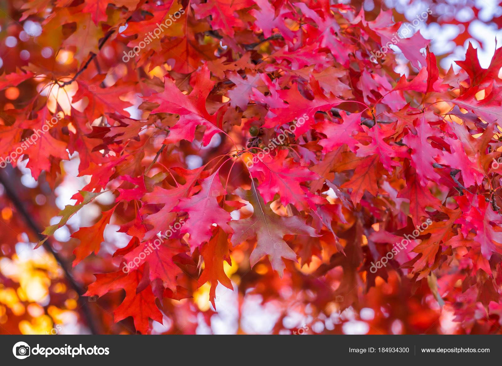 branche d'arbre de chêne rouge pleine de feuilles rouges sur elle