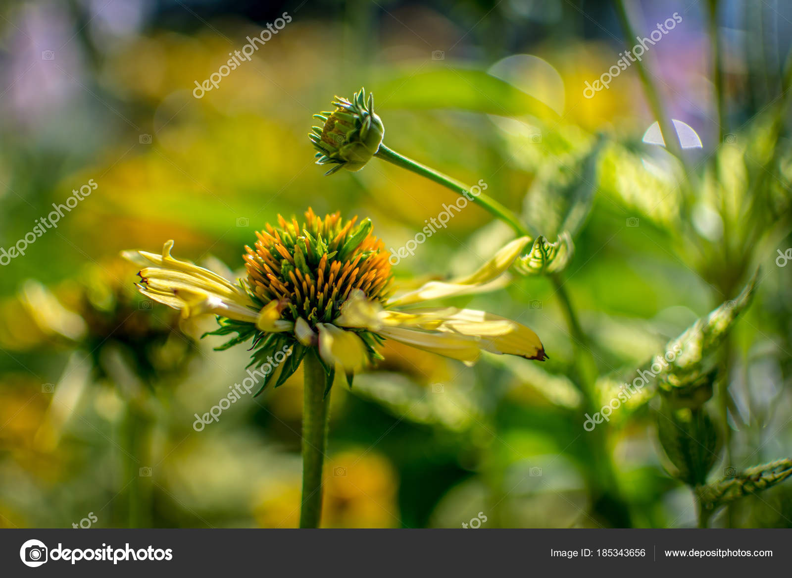 Yellow Coneflower Garden Some Wonderful Bokeh Background Shallow