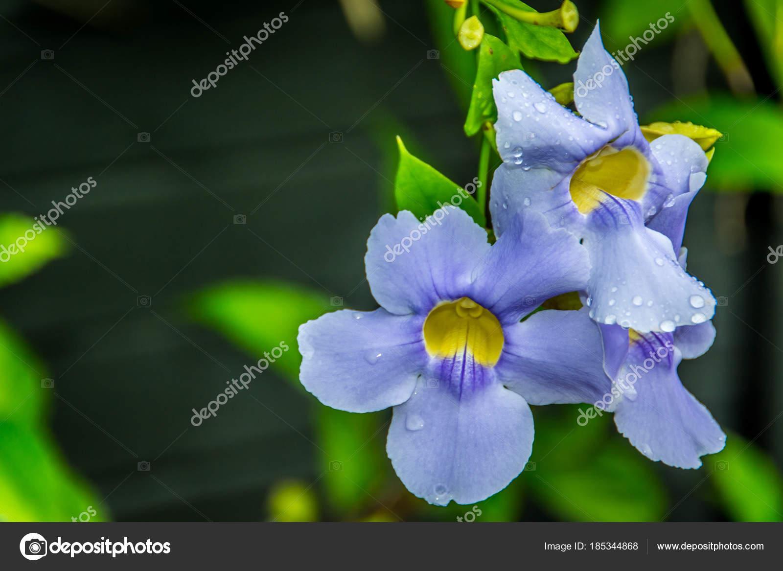 Beautiful blue trumpet vine bloom caribbean stock photo msbyer a beautiful blue trumpet vine bloom in the caribbean photo by msbyer izmirmasajfo