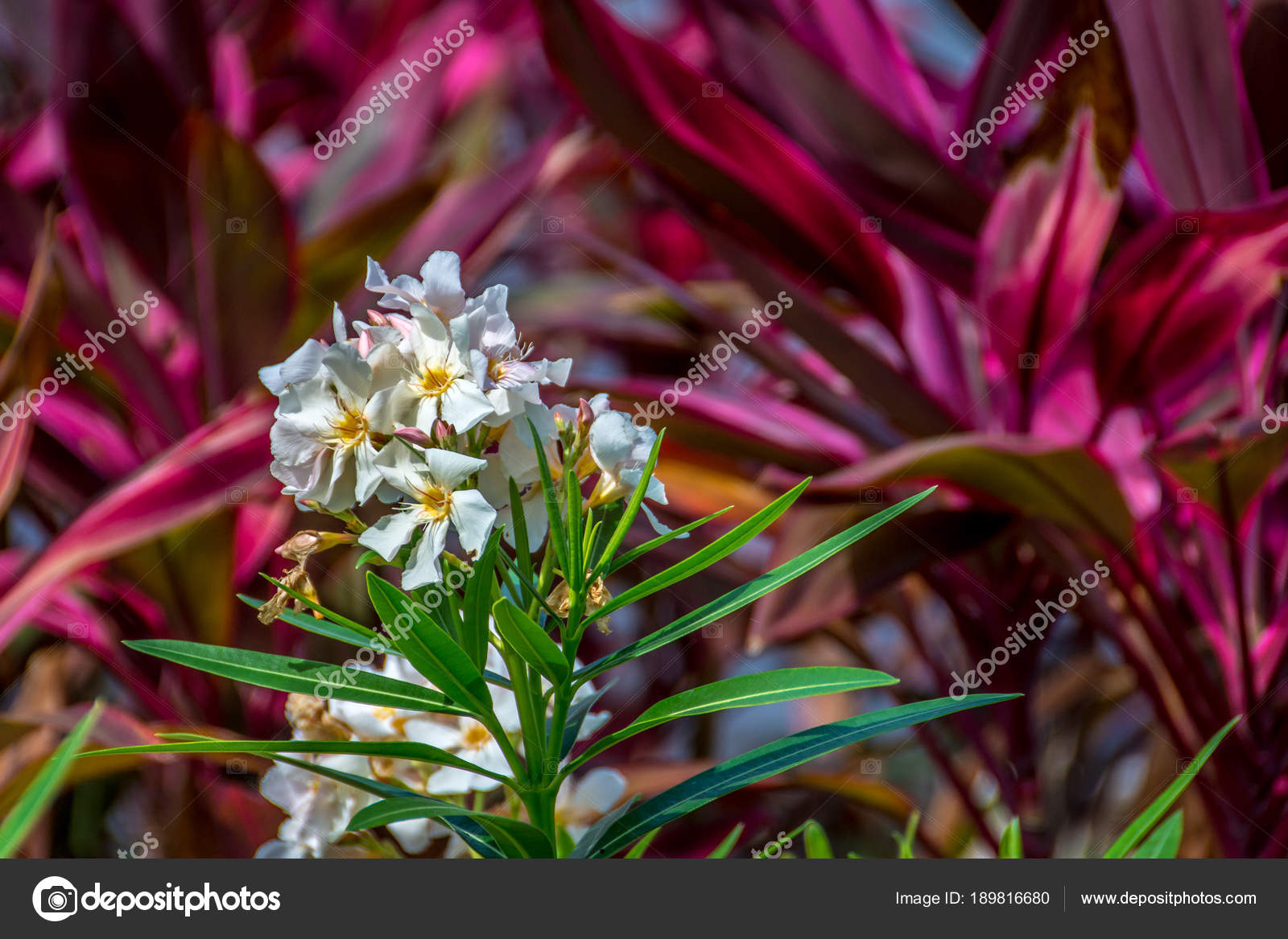 White Oleander Flowers Set Background Red Cordyline Foliage Shallow