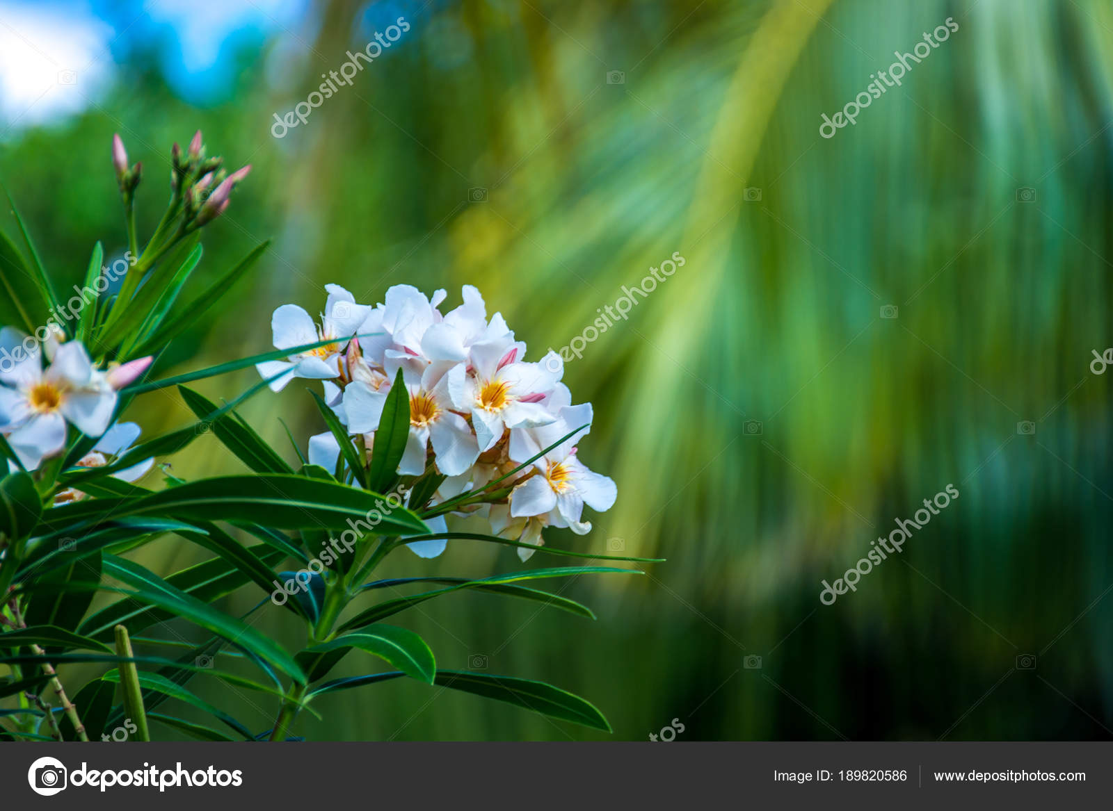 White Oleander Flowers Set Background Palm Leaves Shallow Depth