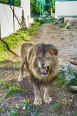 Lev v zoo, Slovensko