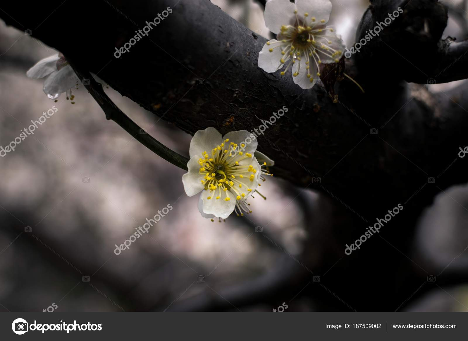 White Flower With A Yellow Center Stock Photo