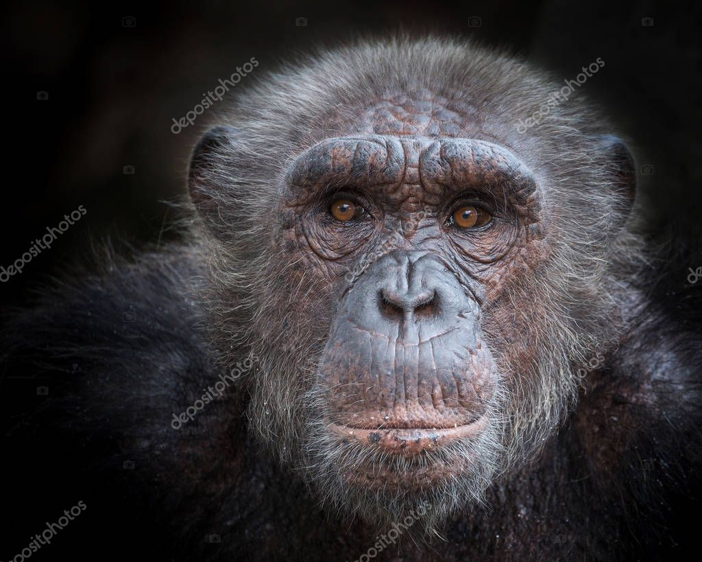 The old face of a chimpanzee on a black background.