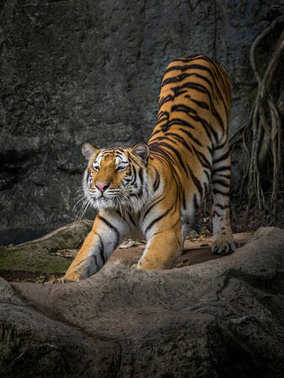The action of the tiger stretch lazily.