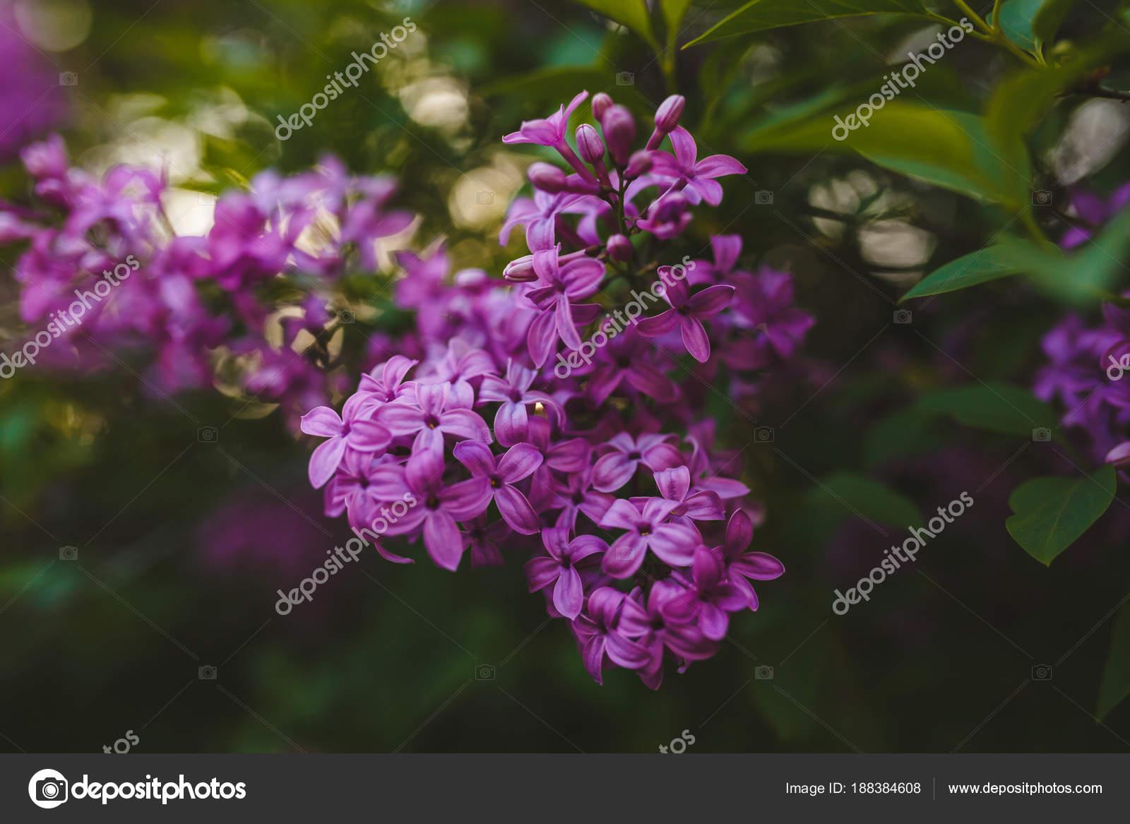 Extreme close-up of Syringa lilac flower — Stock Photo