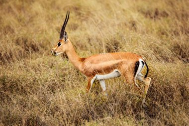 Grant's gazelle (Nanger granti) feeding in african savanna. Tsavo East National Park, Kenya