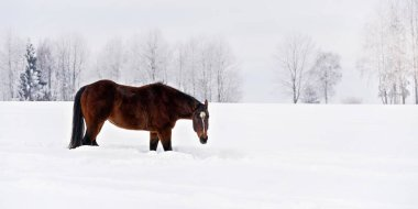 Dark brown horse wades slowly through snow covered field in winter, head down