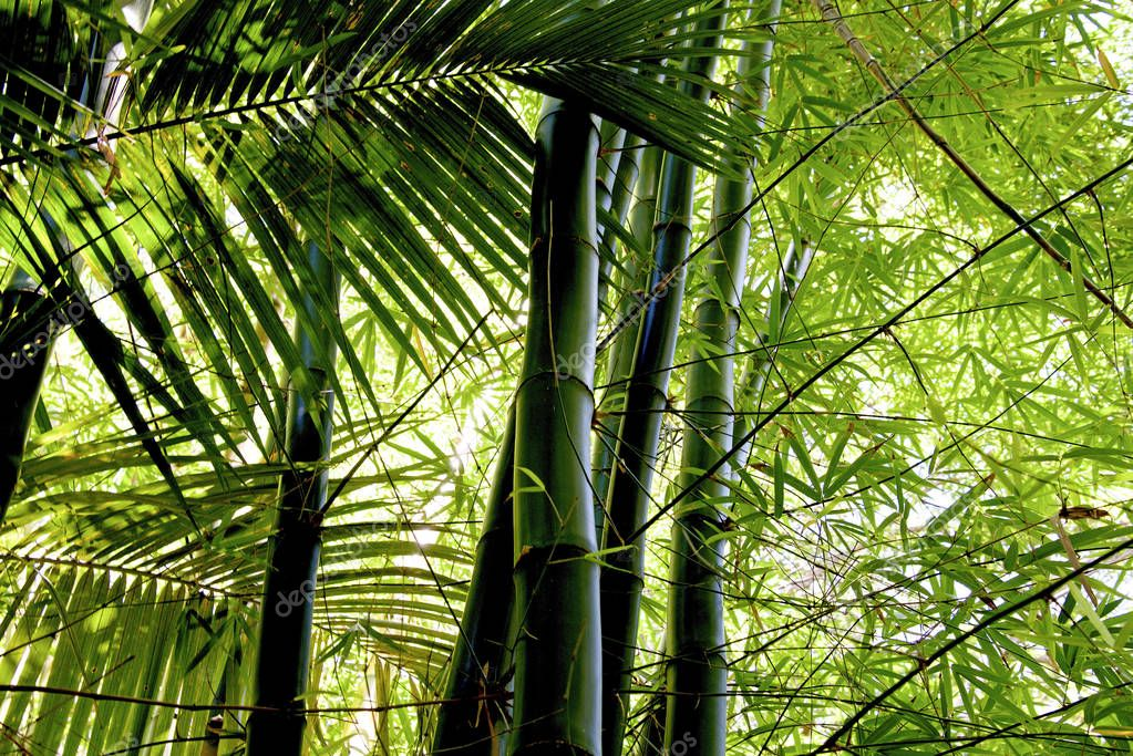 Bamboo grove, bamboo forest at Reunion, France