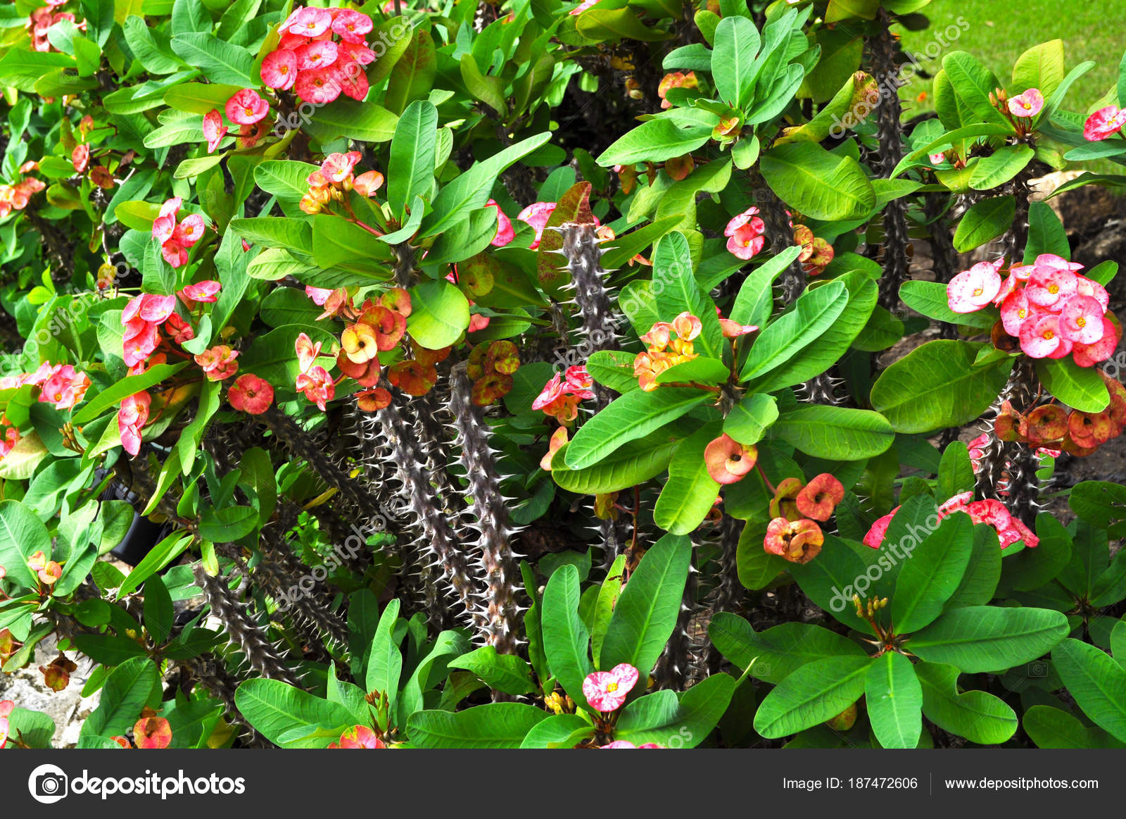 Prickly Cacti Cute Pink Flowers Bright Green Leaves Stock Photo