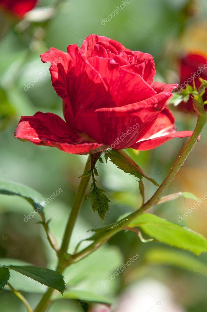 Fiori Bianchi Simili A Rose.Rosa Cespuglio Spinoso Arbusto Che Genere Porta Fiori Profumati
