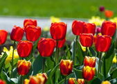 tulipán. a hagymás tavasszal virágzó növény-ból liliom család, az bátran színes csésze alakú virágok.