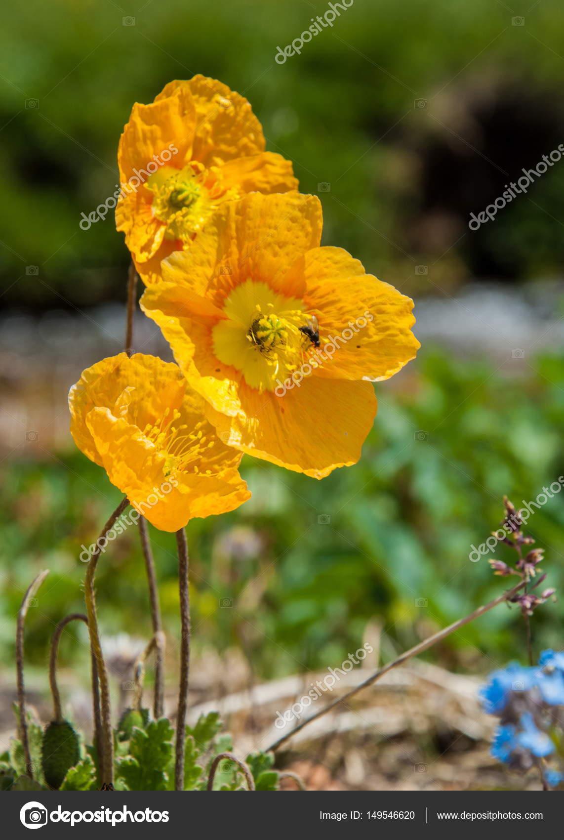 Yellow Poppies Mountain Mount Hill Kazakhstan Tien Shan Assy