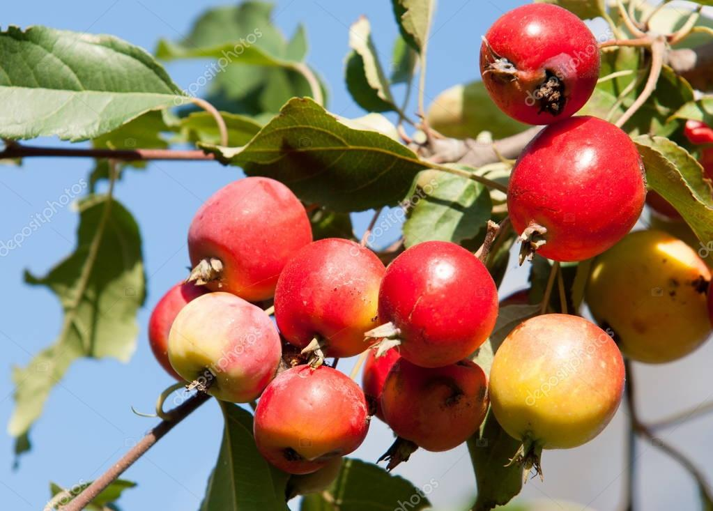 Crabapple and Wild apple. Malus  is a genus of about 3055 species of small deciduous apple trees or shrubs in the family Rosaceae