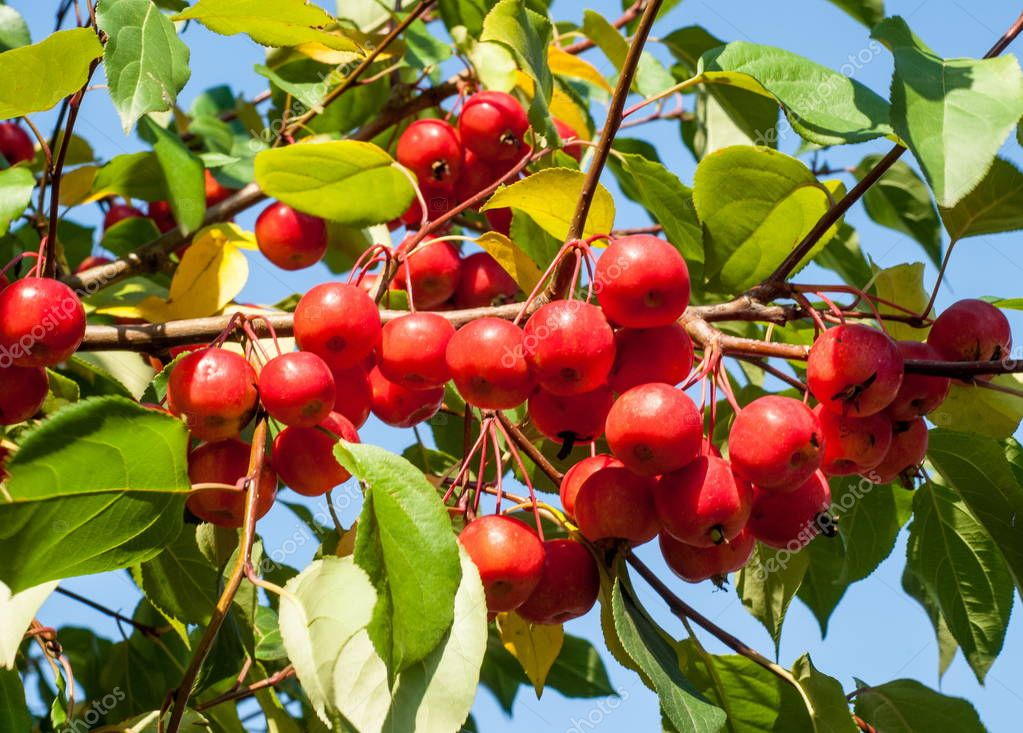 Crabapple and Wild apple. Malus  is a genus of about  species of small deciduous apple trees or shrubs in the family Rosaceae
