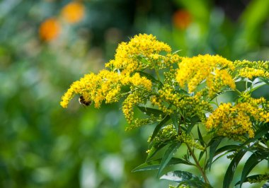 Looming goldenrod. Solidago, or goldenrods, is a genus of flowering plants in the aster family, Asteraceae stock vector