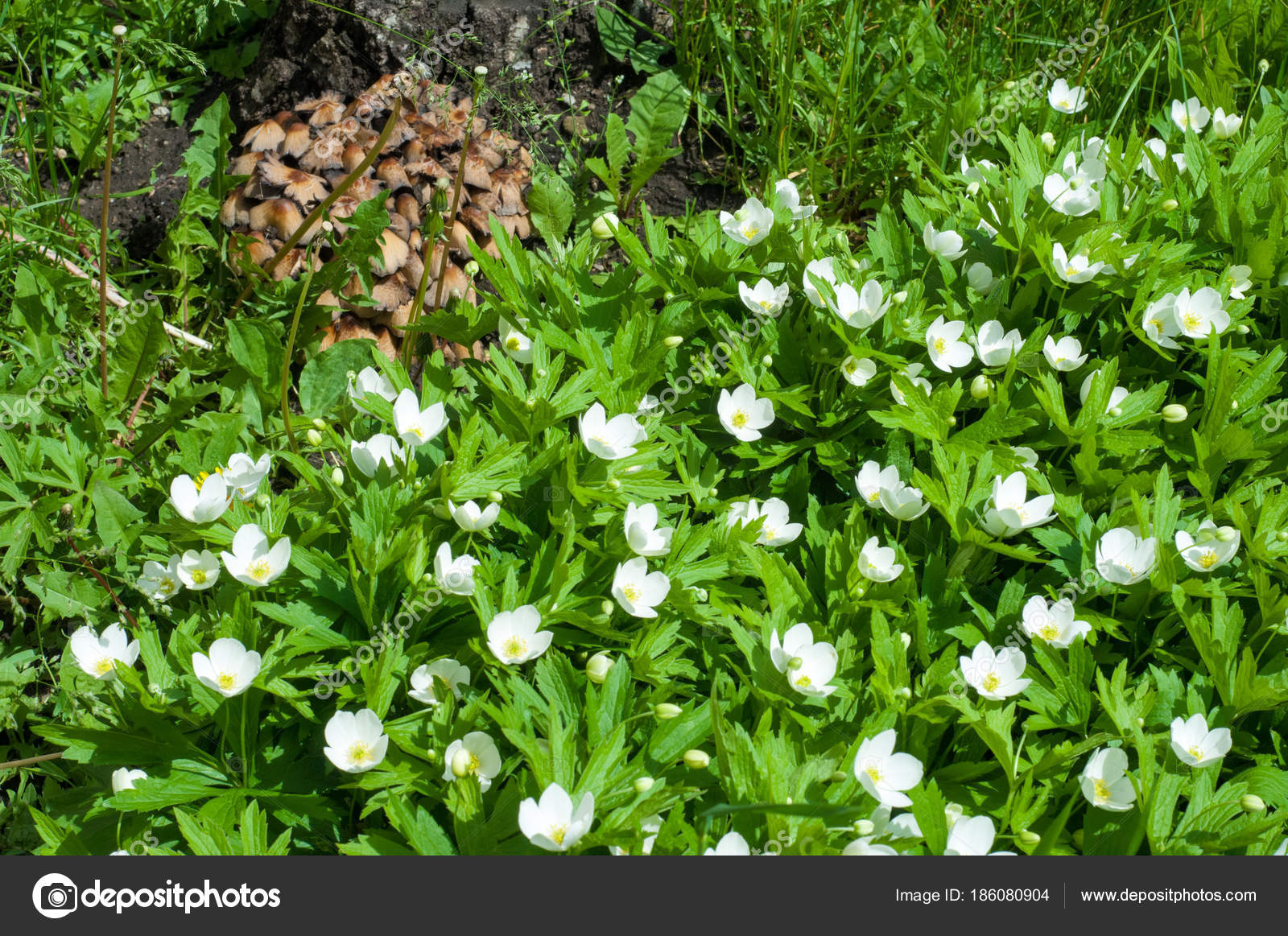 Summer Landscape Flowers Anemone Nemorosa Early Spring Flowering