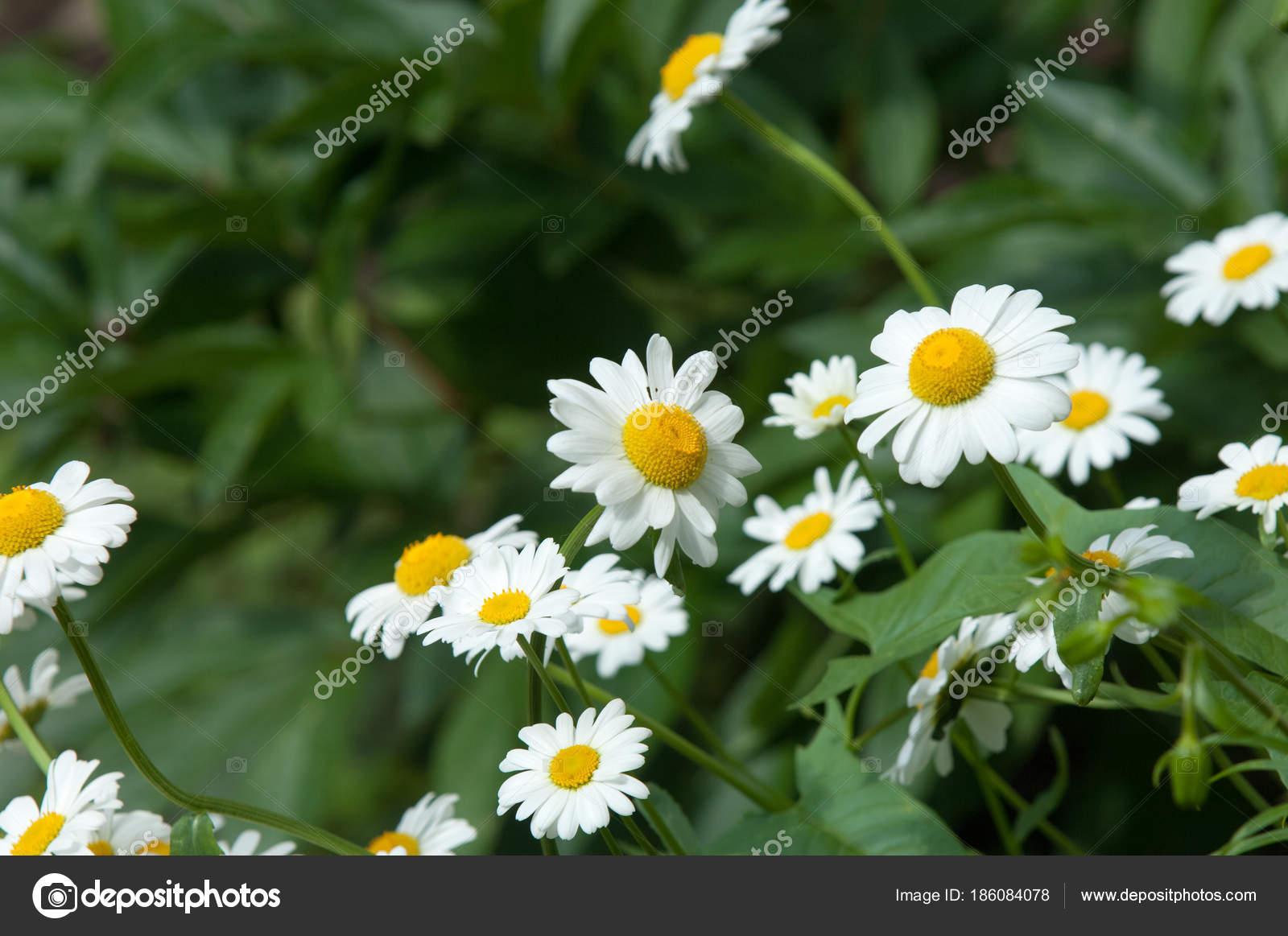 Summer Photos Flowers Daisies Aromatic European Plant Daisy Family
