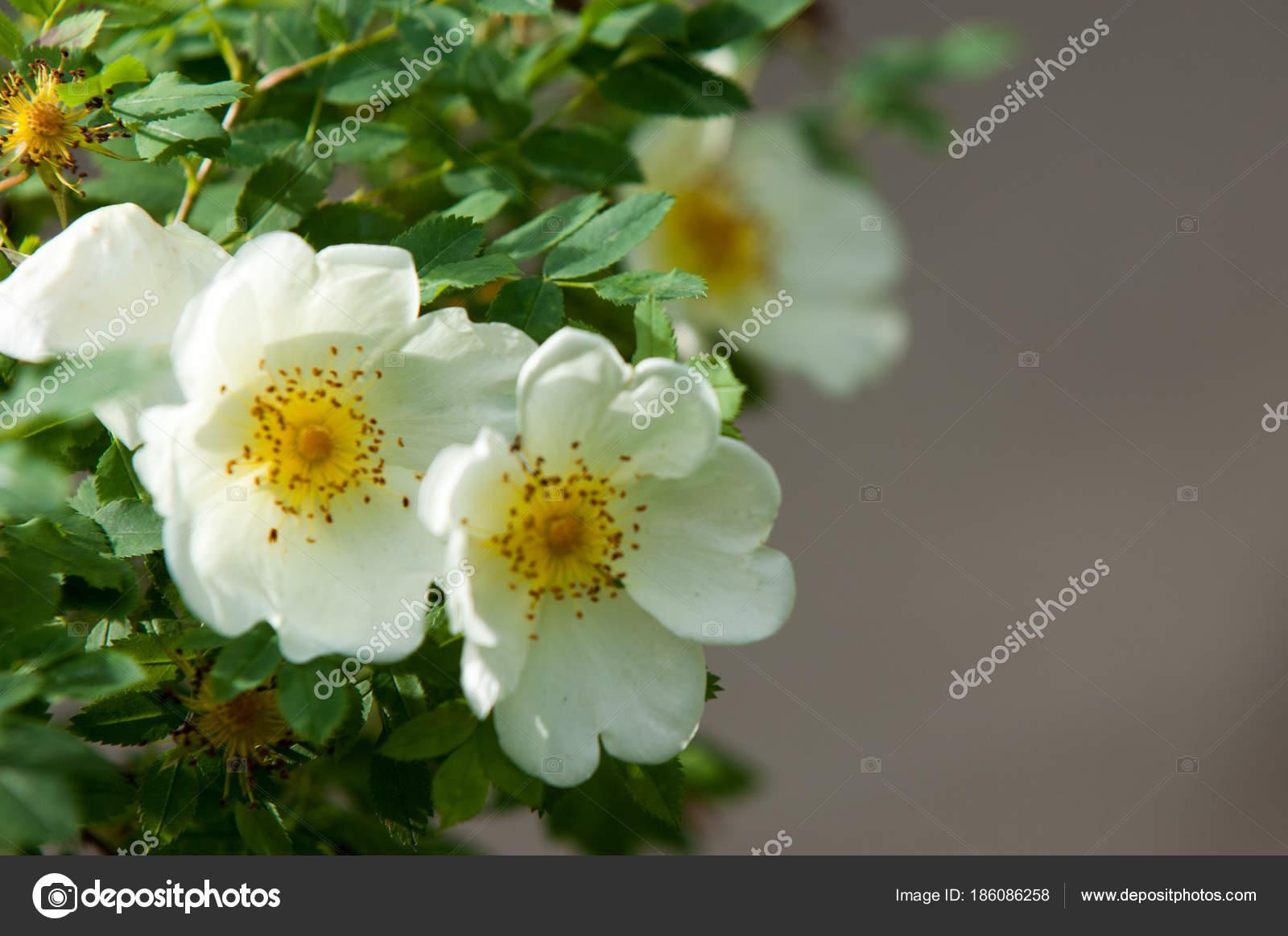 Flores Silvestres Color Rosa Salvaje Hermosas Flores Blancas Rosal