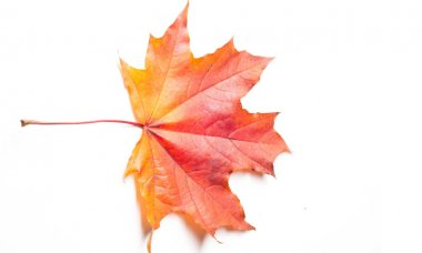 Autumn painting, Autumn maple leaves, Solitary leaf on white bac