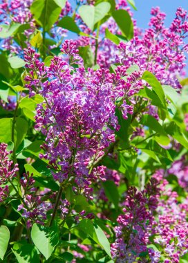 Syringa lilac species of flowering woody plants in the olive family native to woodland and scrub from southeastern Europe to eastern Asia and widely and commonly cultivated in temperate areas elsewher