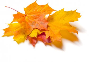 Autumn texture. Colorful maple leaves. The phenomenon is commonl
