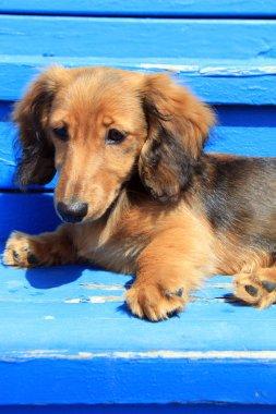Dachshund puppy outside