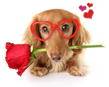 Valentines day dachshund puppy wearing heart shaped glasses holding a red rose. stock vector