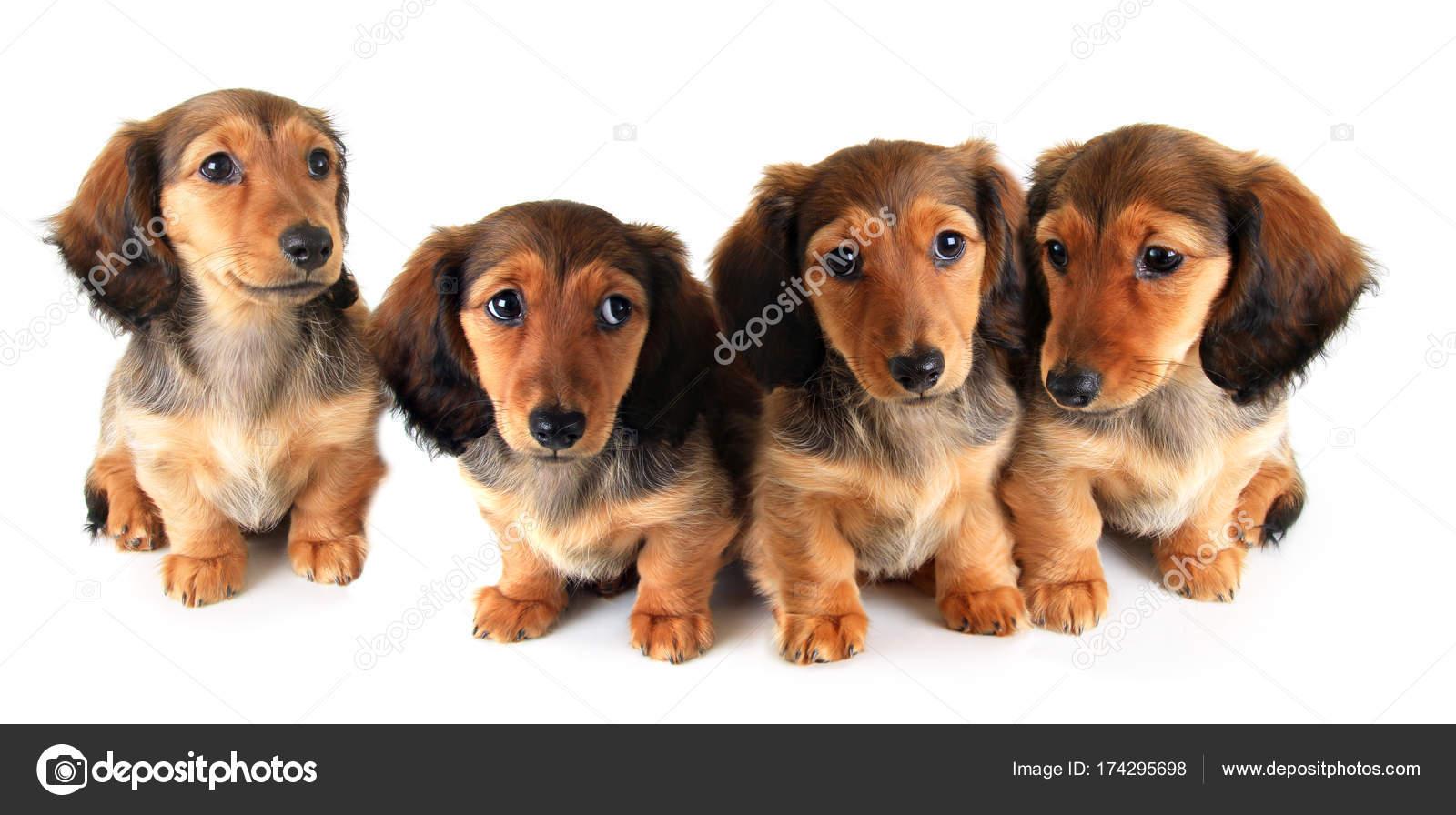Longhair Dachshund Puppies Stock Photo Hannamariah 174295698