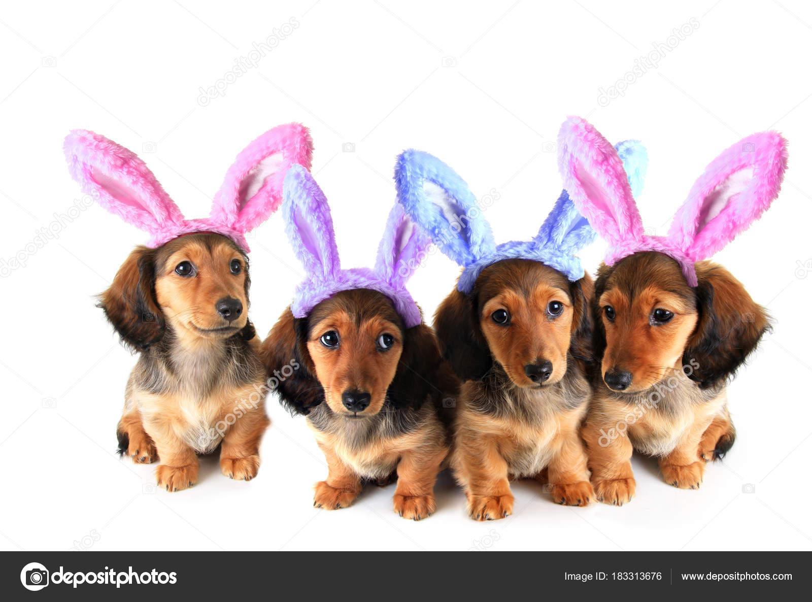 Easter Bunny Dachshund Puppies Stock Photo Hannamariah 183313676