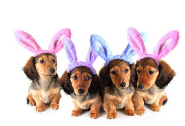 Easter bunny Dachshund puppies