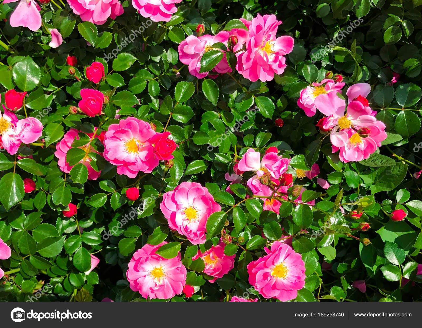 Background Of A Flowering Bush Of The Dog Rose With Bright Pink