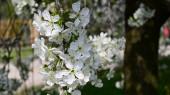 jabloně větve s bílými krásnými květy, zblízka, jarní koncept