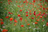 Poppys in flower meadow / A flower meadow on a meadow fence with cornflowers and poppies.