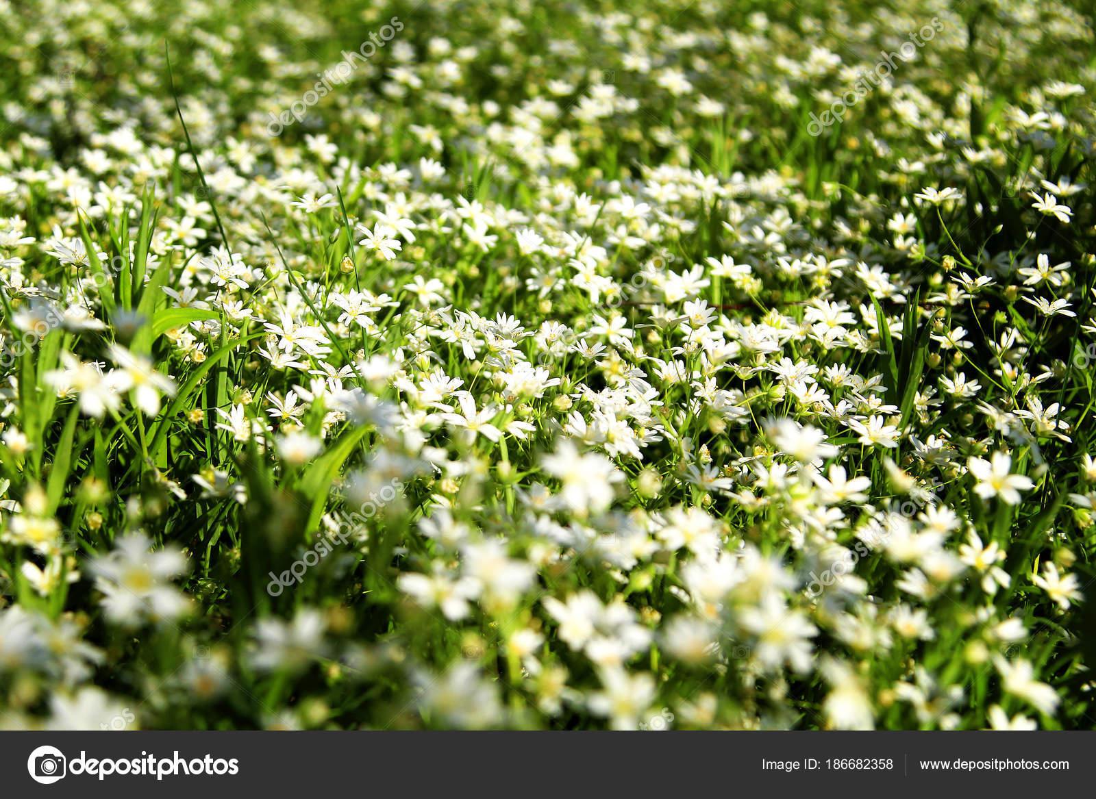 Flores Blancas Silvestres Bosque Fotos De Stock C Photosbelkina