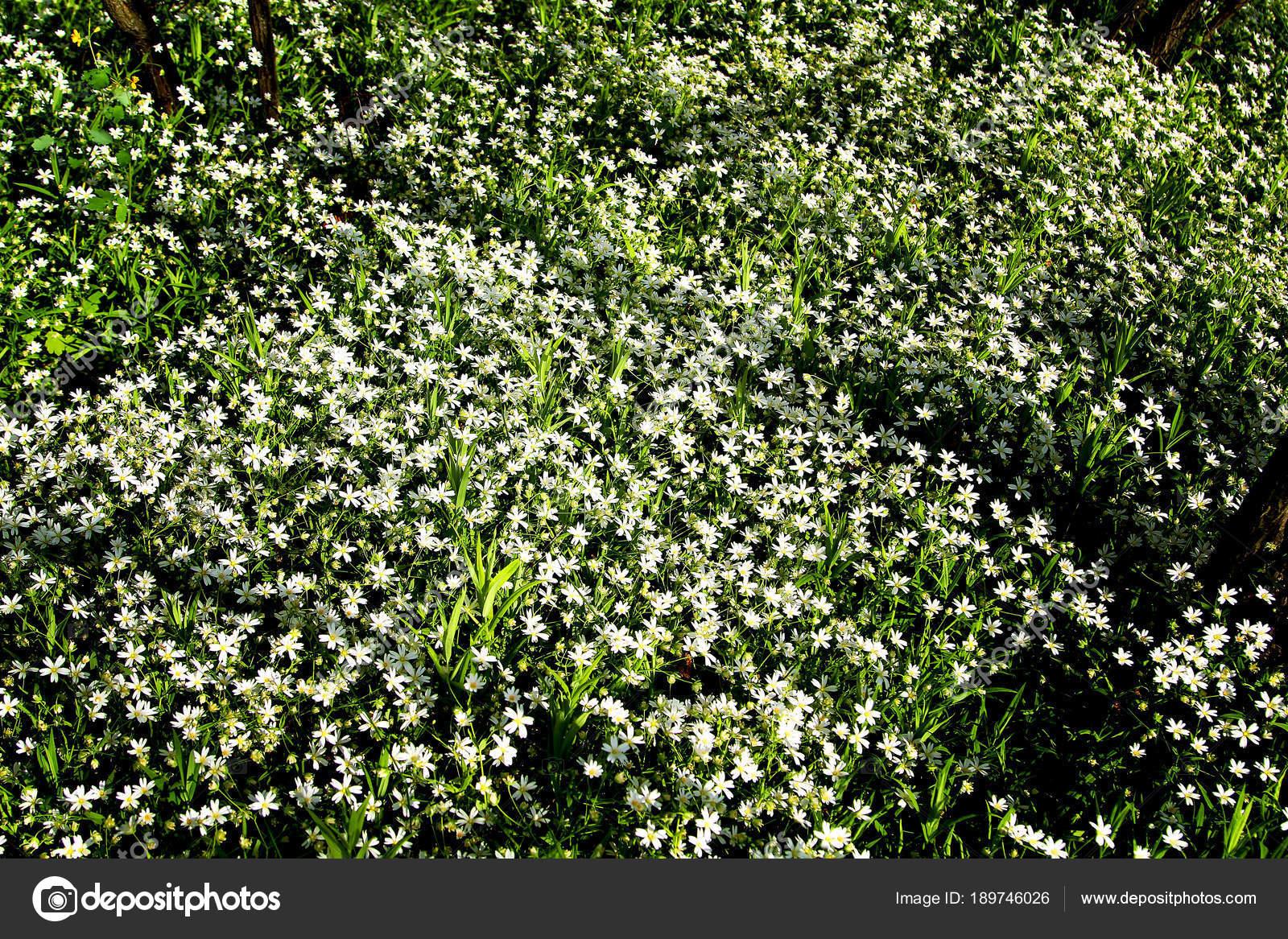 Flores Blancas Silvestres Bosque Foto De Stock C Photosbelkina